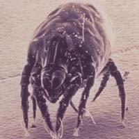 Dust Mite